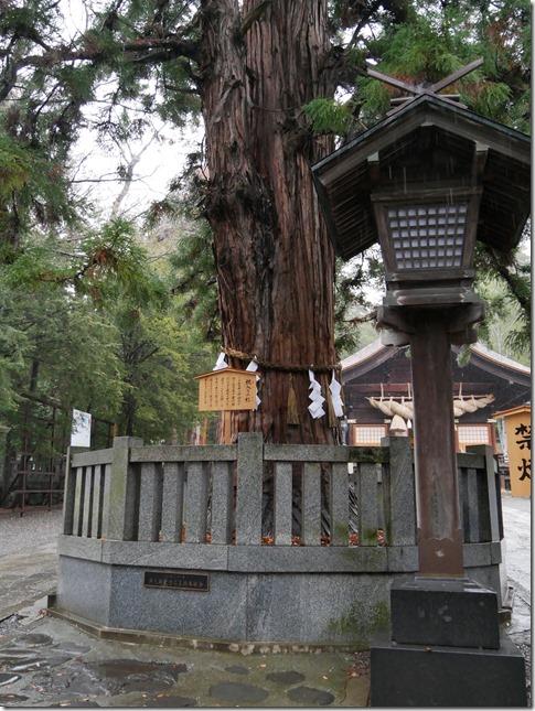 諏訪大社 下社秋宮 根入りの杉